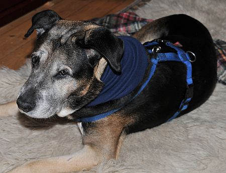 Hund mit Halsweh