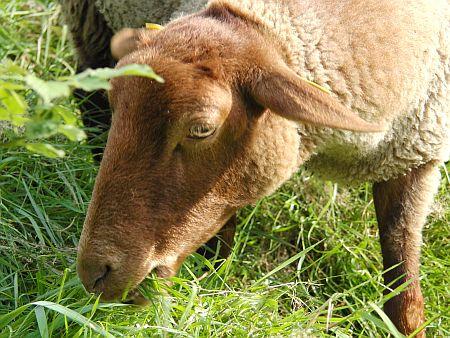 Wolle vom Fuchsschaf versponnen